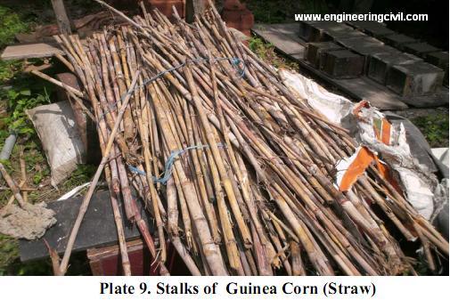 Plate 9. Stalks of  Guinea Corn