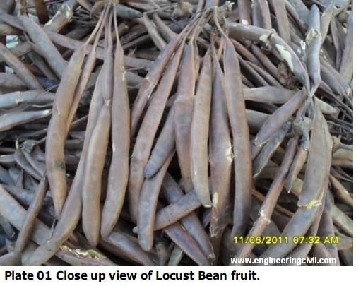 locust bean fruit